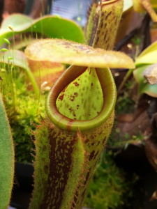 Nepenthes glandulifera x platychila with a fresh pitcher showing little color [Photo: March 19, 2016