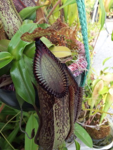 Awesome Nepenthes hamata in a ceramic planter on display at California Carnivores in Sebastopol, CA March 24, 2016