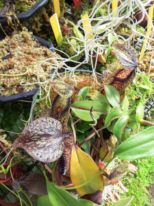 Mature Nepenthes hamata starting to vine, on display at California Carnivores in Sebastopol CA March 24, 2016.
