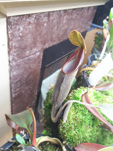Nepenthes lingulata feb14-2016