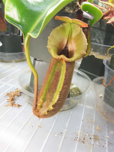 Nepenthes robcantleyi feb15-2016