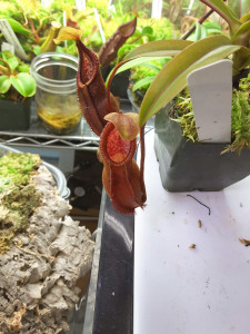 Nepenthes singalana x hamata red hairy feb25-2016