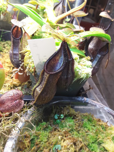 Nepenthes singalana x hamata2 nov5-2015