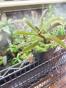 Nepenthes glabarata (BE-3257) happy with cool it humid conditions in my highland terrarium [Photo: May 18, 2016]